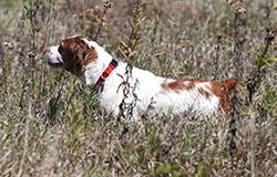 Best Pheasant Hunting Dog Breed