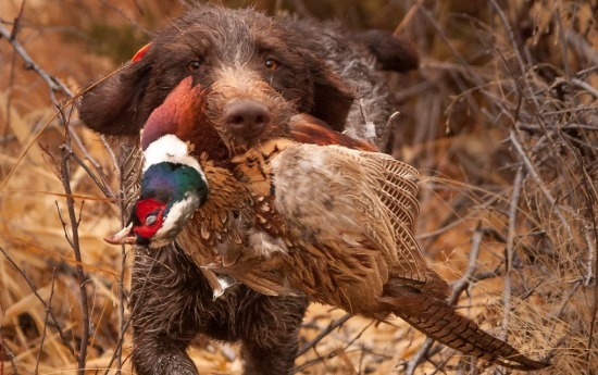 Well-trained bird dogs greatly help pheasant hunters find birds that would otherwise go unrecovered. Photo by Sam Stukel