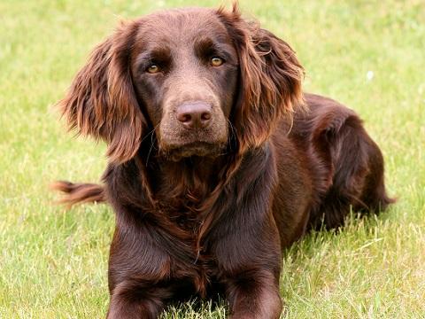 Deutscher Wachlethund