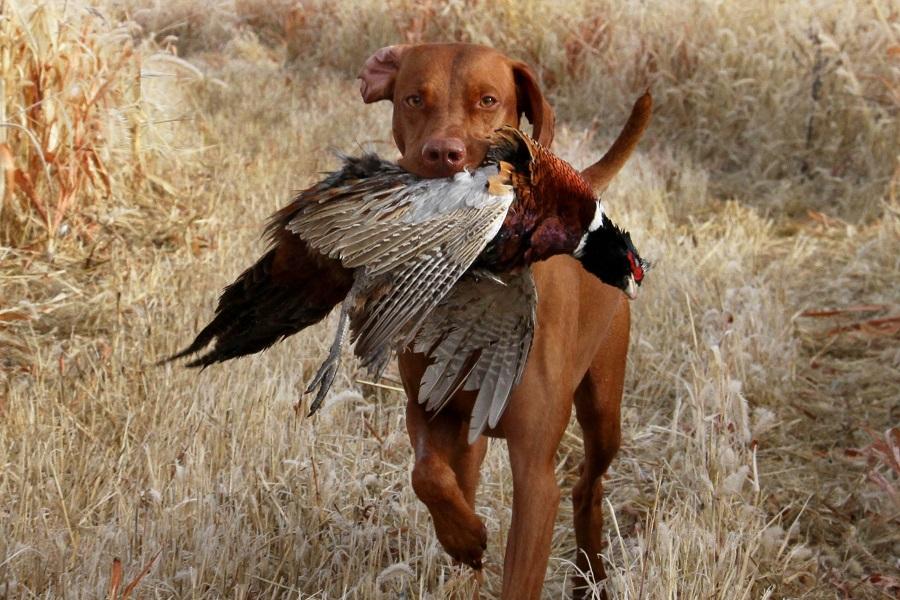bird dog profile v is for vizsla