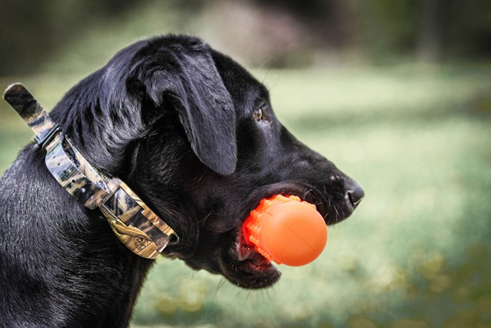 Black Lab intent on retrieving.