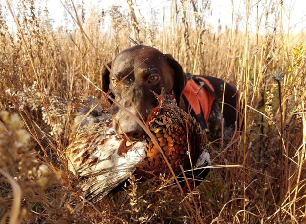 5cffedd66a Breed Profile  German Shorthaired Pointer