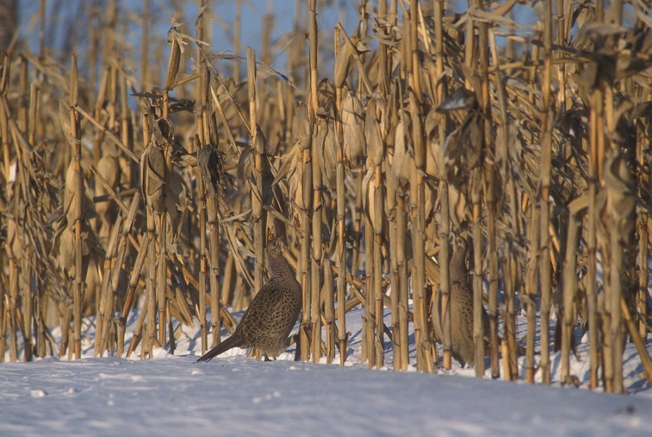 Large blocks of corn (10+ acres) can serve as food and shelter for pheasants in the winter.