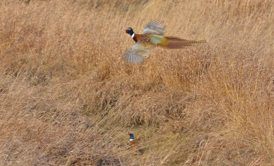 While pheasants prefer to run and hide in cover, they can fly up to 60 mph. Photo by PF Life Member Craig Armstrong