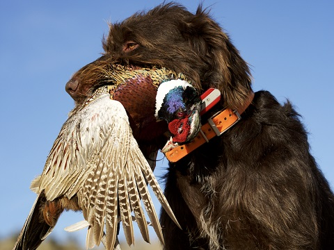 Cesky Fousek (Bohemian Wirehaired Pointing Griffon)